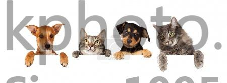 Stock Photos Cats And Dogs Hanging Paws Over White Banner