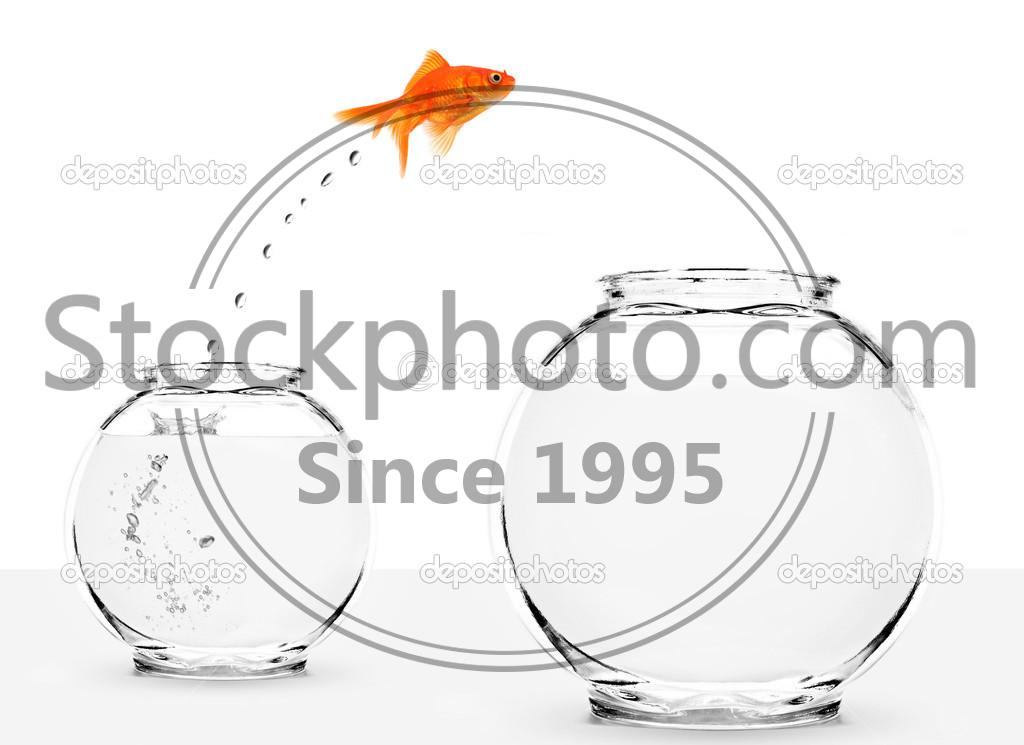 Stock photo of Goldfish jumping from small to bigger bowl - Goldfish jumping from small to bigger bowl isolated on white background