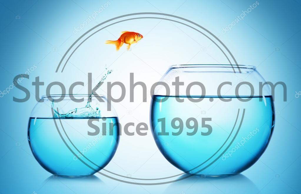 Stock photo of Goldfish jumping from glass aquarium, on blue background - Goldfish jumping from glass aquarium, on blue background