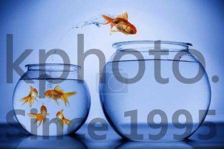 Stock photo of Fish happily jumping - Fish happily jumping from small bowl with a school of fish  to a bigger bowl